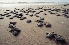 Con Dao – un endroit sûr pour les tortues marines