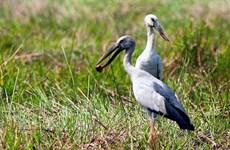 Des bec-ouvert indiens affluent au jardin d'oiseaux de Bac Lieu