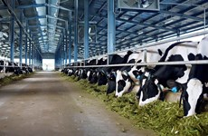 Promotion de la production laitière vietnamienne