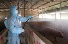 Peste porcine africaine : Hanoï a abattu plus 20% de son cheptel