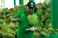 La Thaïlande, championne des exportations de durians