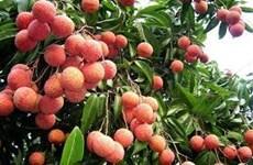 Hai Duong prépare à l'exportation de litchis vers le Japon