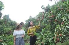 Voyage dans des verges à Bac Giang