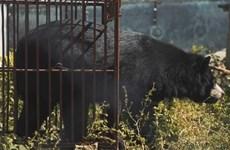 Publication d'un nouveau court-métrage appelant à la fin de l'élevage d'ours