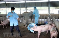 Bac Lieu annonce la fin de la peste porcine africaine