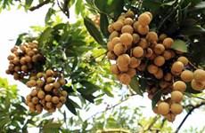 Le Vietnam cherche des marchés d'exportation potentiels pour ses longanes