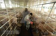 COVID-19 : Ba Vi protège bien sa «zone verte» pour maintenir sa chaîne de production