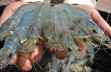 Grandes opportunités pour les exportations vietnamiennes de crevettes vers l'UE