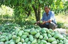 Une société de Dong Thap a exporté 22 tonnes de mangues au Moyen-Orient