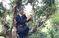 Des théiers anciens reconnus et protégés