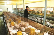 Fermes: la poule aux œufs d'or de Thanh Hoa