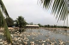 Élevage: Les œufs de cane Chân Hung, la fierté de Tiên Lang