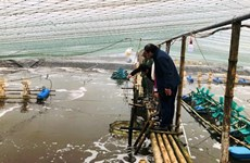 Ninh Binh: Des élevages de crevettes se modernisent grâce à une aide belge
