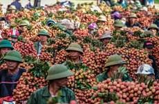 La Chine devrait augmenter ses importations de litchi vietnamien