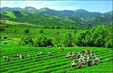 Le thé vietnamien à la conquête du marché américain