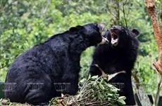 Plan bien léché pour les ours dans la zone tampon à Tam Dao