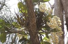 Un royaume des orchidées à découvrir à Buôn Ma Thuôt