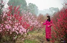 Au village de Nhât Tân, les fleurs de pêcher de toujours sourient au vent de l'Est