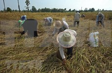La Thaïlande décaisse près de 3 milliards $ pour soutenir le secteur du riz