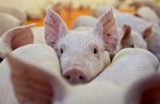 Le Vietnam se mobilise face aux risques de peste porcine africaine