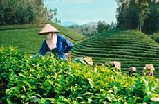 Plus de 103.000 tonnes de thé vietnamien exportées en 10 mois