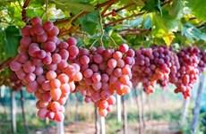 L'Australie promeut ses exportations de raisins frais sur le marché vietnamien