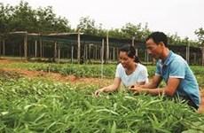 La culture des légumes bio, une affaire de couple à Quang Binh