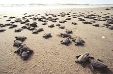 Côn Dao, sanctuaire des tortues vertes