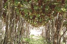 Les vignerons de Ninh Thuân misent sur la qualité