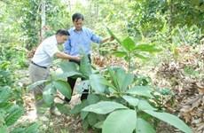 Comment les Dao de Hoành Bô protègent-ils leurs plantes médicinales?