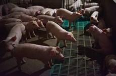 Promulgation d'une résolution pour faire face à la peste porcine africaine