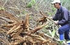 Une année morose pour la filière vietnamienne du manioc