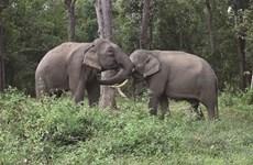 L'heureuse reconversion des éléphants de Yok Dôn