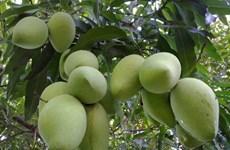 Tien Giang: coopération dans l'exportation de mangues en République de Corée