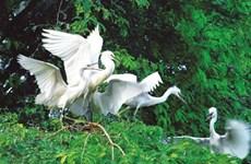 Quand les oiseaux sauvages élisent domicile en centre-ville à Cà Mau