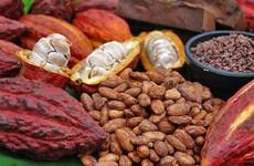 Du cacao organique du Vietnam exporté au Japon