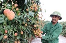 Hai Duong se prépare à l'exportation de litchis vers le Japon