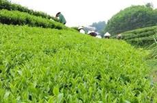 Bac Giang : le thé du village de Ven est de plus en plus connu