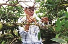 À Nhon An, le bonheur est dans le jardin des abricotiers