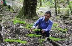 Les plantes médicinales, une aubaine pour les Sedang de Kon Tum
