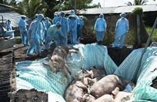 Le Vietnam et les États-Unis étudient conjointement un vaccin contre la peste porcine africaine