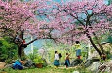 Laissez-vous éblouir par les fleurs de pêcher à Hà Giang