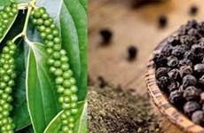 Chute des exportations nationales de poivre vers la Chine