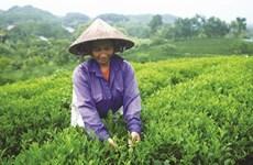 Le thé grand cru du village de Ven