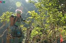 Thé Shan Tuyêt de Suôi Giàng, la quintessence de la montagne du Nord-Ouest