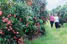 Bac Giang étend sa superficie de litchis pour l'exportation