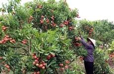 Bac Giang prépare la nouvelle saison de litchi