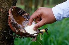 Cambodge : les exportations de caoutchouc naturel en hausse
