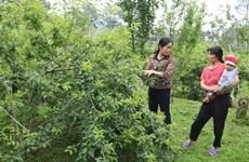 """Protéger et développer le label """"prune Tam Hoa Bac Hà"""""""