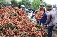 Des experts japonais au Vietnam pour vérifier le litchi frais pour l'exportation